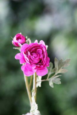 Ranucular - Bright Pink