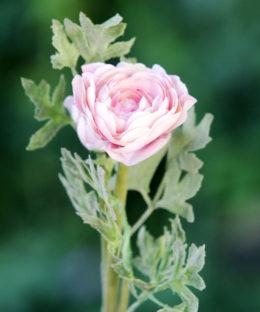 Ranuncular-  Pale Pink