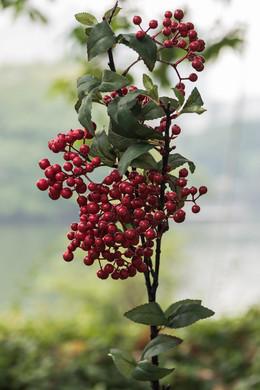 Berries - Stem - Red