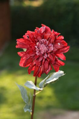 Dahlia - Red  Due in End October