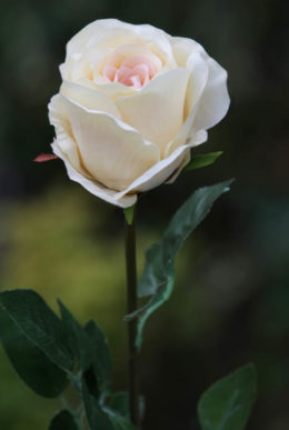 Rose Bud Large Pale Apricot