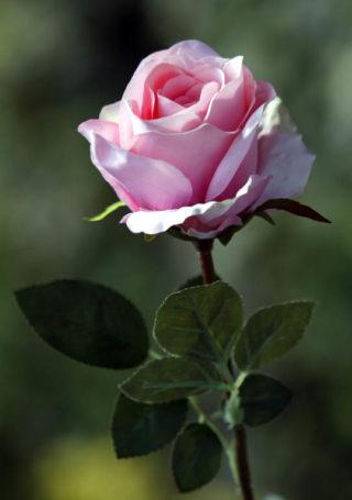 Rose Bud Large Pale Pink