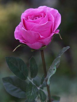 Rose Bud Large Bright Pink