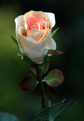Rose Bud Med Apricot