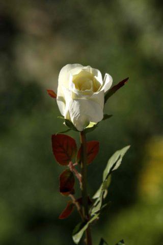 Rose Bud Med Pale Apricot