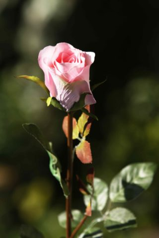Rose Bud Med Pale Pink