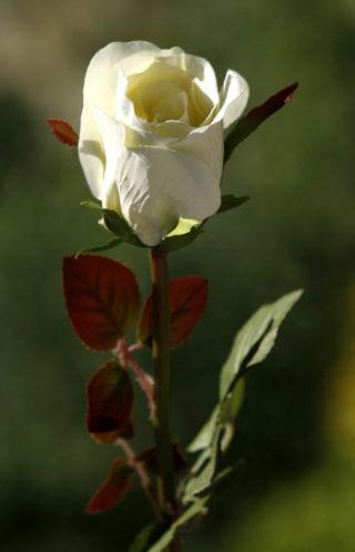 Rose Bud Med Ivory