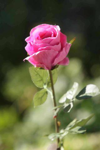 Rose Bud Med Bright Pink