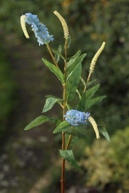 Salvia - Blue