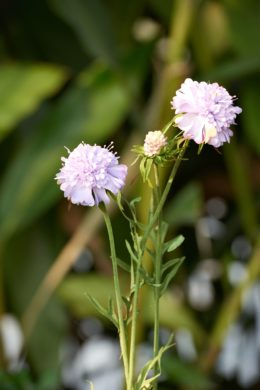 Scabious -Lilac