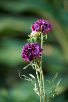 Scabious - Purple