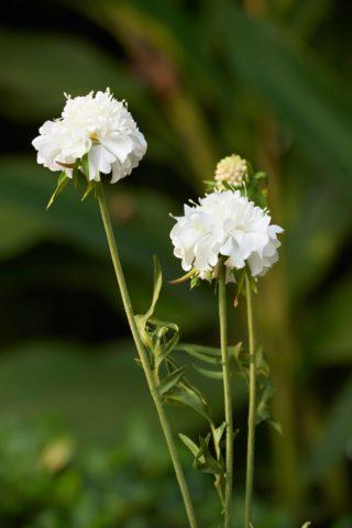 Scabious -  White