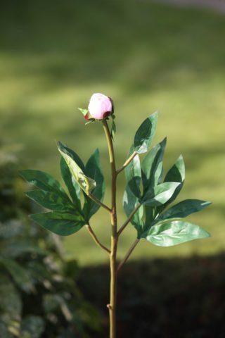Peony small bud  Blush Pink
