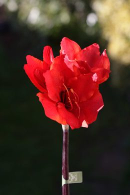 Amaryllis - Small Red