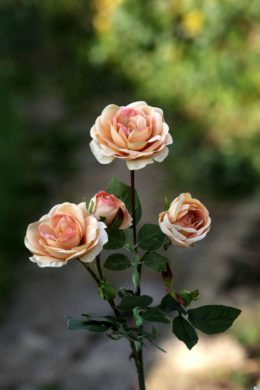 Spray Med Old English Roses x 4 Heads  Apricot