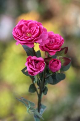 Spray Med Old English  Roses x 4 Heads Dark Pink