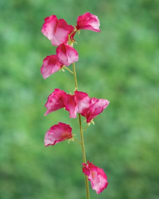 Sweet Pea Dark Pink