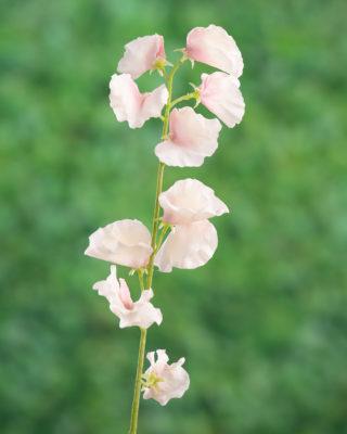 Sweet Pea Pale Pink