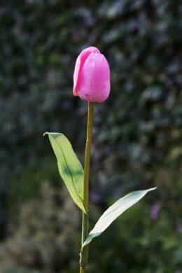 Tulip Dark Pink Due in end October