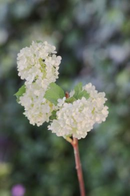 Viburnum -  Greenish/White  -  Spray