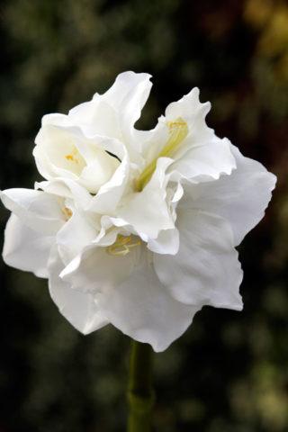 Amaryllis Large Head - White -