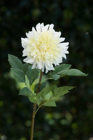 Dahlia  Ivory