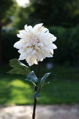 Dahlia Cream Due in End October