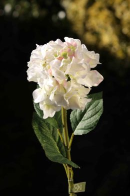 Hydrangea White with a Touch of Pink