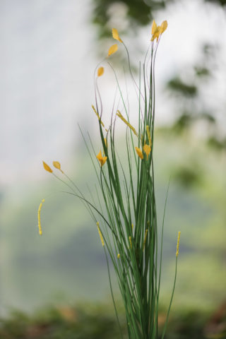 Meadow Grasses  Tipped Yellow